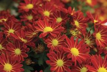 Single-petaled mums look like brightly colored daisies.