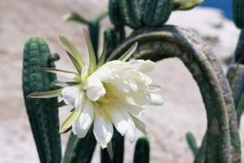 The white flowers of orchid cactus bear a striking resemblance to those of its desert relatives.