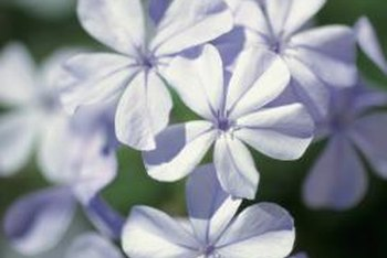 Plumbago blooms from spring until autumn in mild areas.