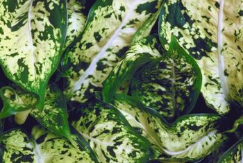 Healthy dieffenbachia leaves are spattered with green and cream.