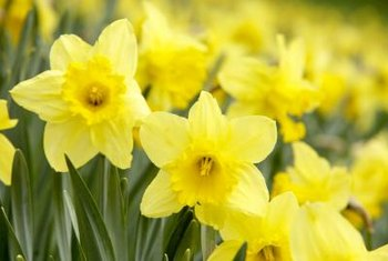 Choose a sunny spot for the best daffodil display.