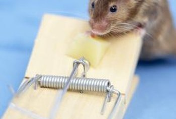 Trapping existing mice is essential if you want to keep the rodents out of your walls.