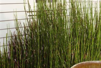 Horsetail serves as an attractive privacy hedge.