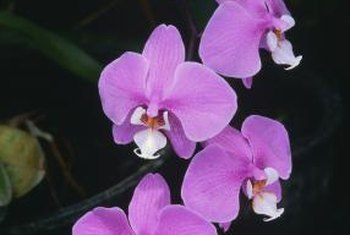 Stick to a watering schedule of once per week for healthy orchids.