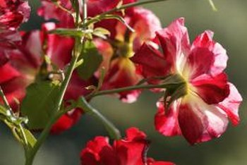 Knock Out roses are tough, but can still be stressed by several factors.