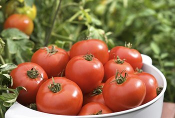 Tomatoes need warm nighttime temperatures to ripen on the vines.
