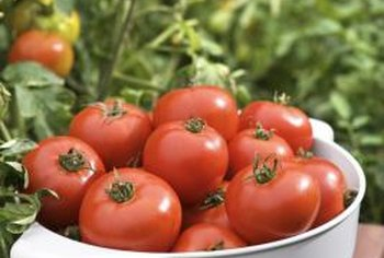 Liquid fish fertilizer helps bring in big tomato harvests.