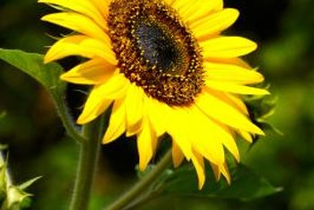 Sunflower blossoms move to follow the sun.