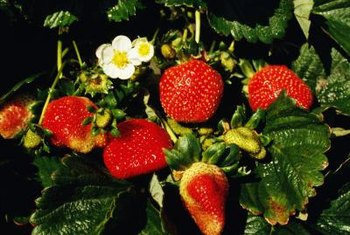 Green strawberry plant leaves suggest appropriately acidic soil.