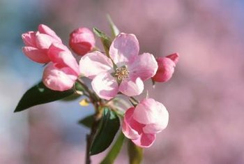 Most apple blossoms are pink when the flower first opens.