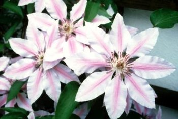 Clematis varieties come in a range of sizes, shapes and flower colors.