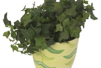 English ivy was a favorite in Victorian households.