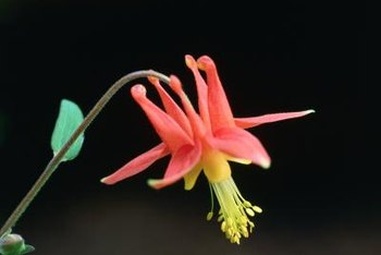Columbine flowers offer abundant nectar to hovering hummingbirds.
