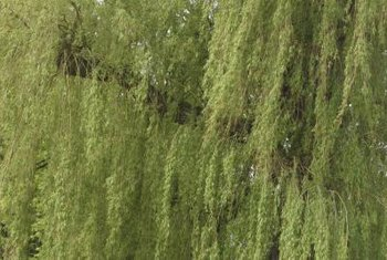 Willow trees are decidiuous and typically have narrow leaves on long, thin branches.