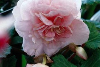 Beautiful begonia blossoms depend on proper nutrition.