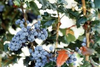 The fruit of the Oregon grape shrub resembles bunches of grapes.