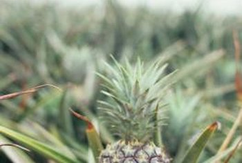 A pineapple plants produces 70 to 80 leaves before producing a fruit.