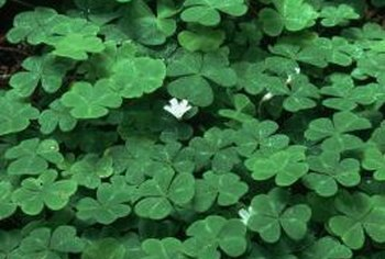 Oxalis leaves are usually divided into three leaflets, which gives them the look of shamrocks.