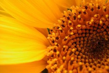 Sunflower centers are filled with tiny flowers that mature into individual seeds.