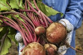 Mature turnips vary in size and color.