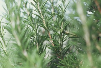 The thin leaves of rosemary plants are edible.