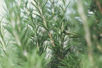 Rosemary shrubs grow evergreen in mild winter climates.