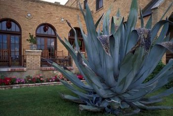 Stunning specimens of agave are used for low-maintenance landscaping.