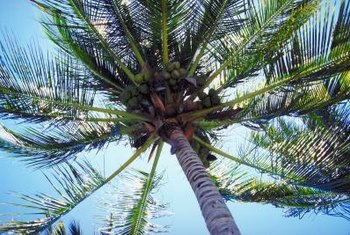Flowering coconut palms are among the world's most useful plants.
