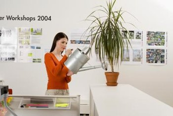 Dracaenas work well in offices because they tolerate low light and low humidity.
