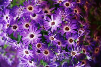 Easy-to-grow asters are ideal for novice gardeners.