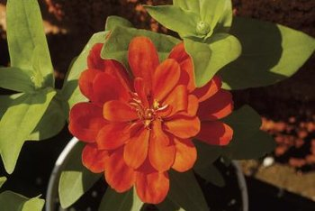 Zinnias grow in a variety of bright colors.