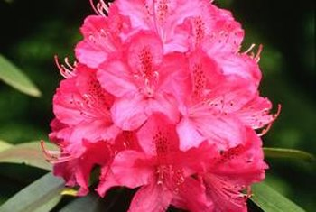 Rhododendrons usually have larger flowers and longer, thicker leaves than azaleas.