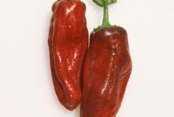 "A variety of chile pepper, the ""Bhut Jolokia"" is ready for harvest when it turns bright red."