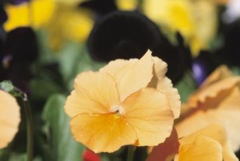 Jazz up your winter landscape with pansies.