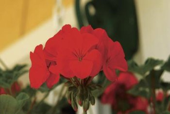 Geraniums can be taken indoors and stored for the winter with their roots bare.