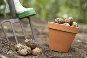 Moist, acidic soil promotes a scab-free potato harvest.