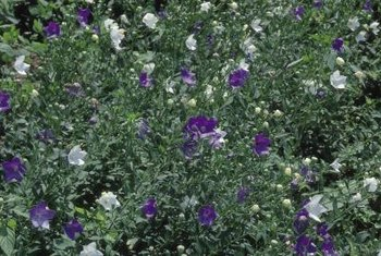 Shrubs with purple and burgundy foliage or blooms break up blocks of solid green in your landscape.