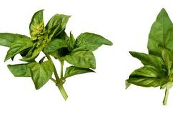 When you pick basil for use in recipes, the plant branches to produce even more basil.