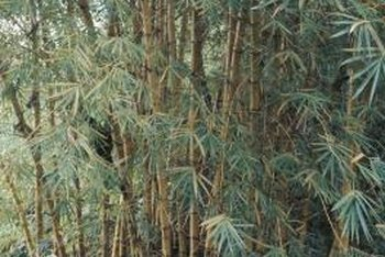 Bamboo can be invasive without proper control.
