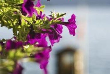 Cascade type petunias are ideal for hanging baskets.