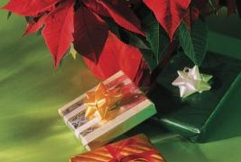 You may be able to save a poinsettia forgotten after the holidays.
