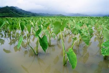 Taro plants are native to wet, tropical areas.