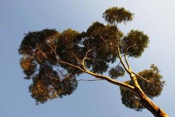 Some Eucalyptus Grow 90 Feet Tall.