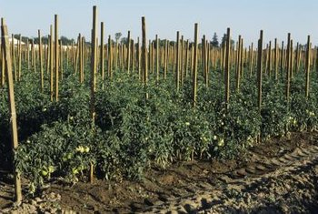 A good support system helps keep tomato plants healthy.