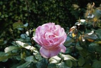 Choose companion plants to beautify rosebush beds.
