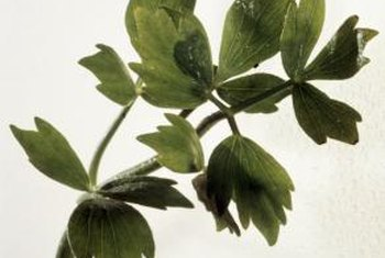 The lobed leaves of a lovage plant help in identification.