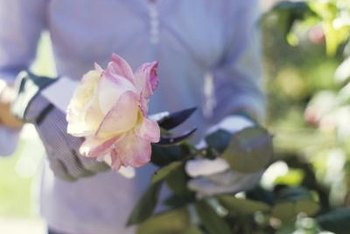 Young rose plants don't require heavy pruning.