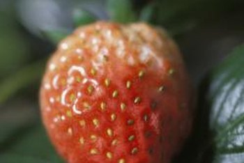 Strawberries produce fruits at temperatures of 50 to 80 F.