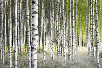 Paint A Series Of Birch Trees With Minimal Details For An Impressive Wall  Mural. Part 52