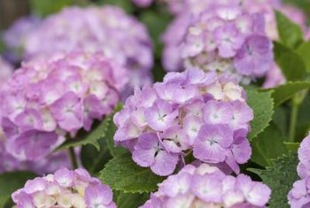 Bigleaf hydrangea is the most popular species.